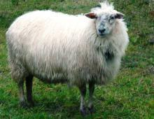 La base aérienne de Florennes en accord avec le DNF cherche un éleveur d\'ovins